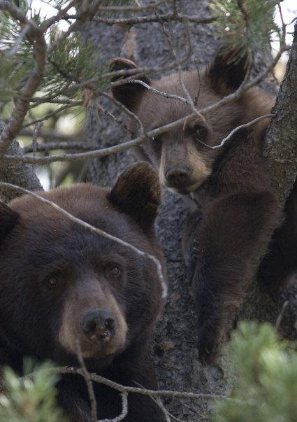 Black bears relocated by Dr. Leon (Mark Gocke, WGFD photo)