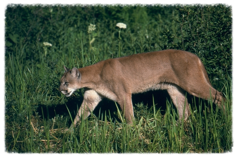 Mountain Lion, Grand Teton NP (NPS photo)