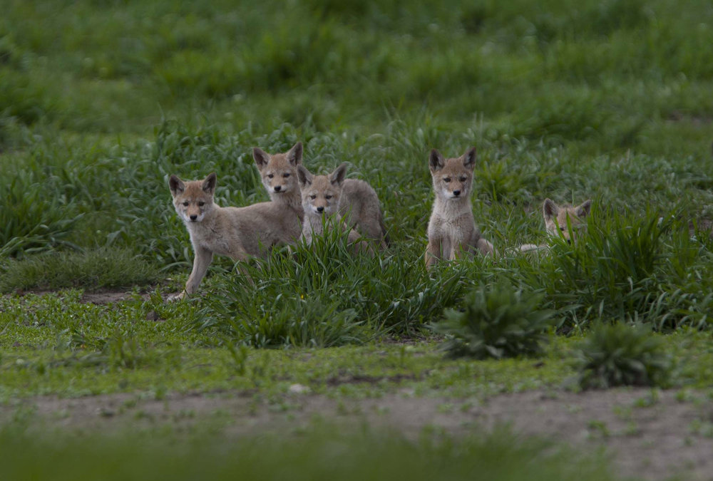 Coyote pups, Grand Teton National Park