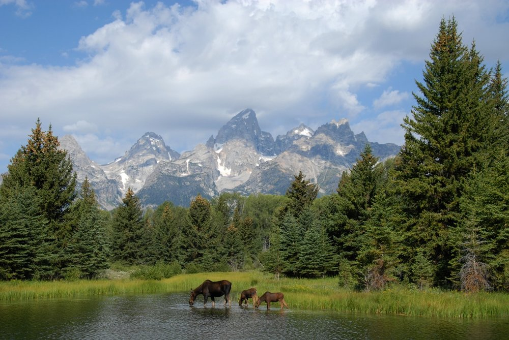 Moose family, Grand Teton National Park
