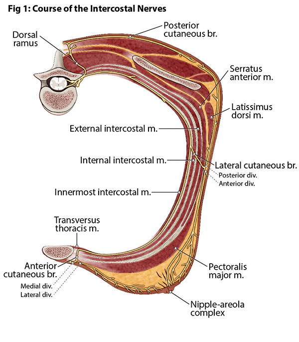 Course of the Intercostal Nerves