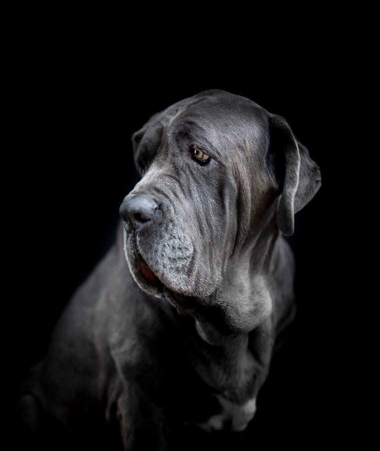 neapolitan-bullmastiff-photos-outdoor-session-barcelona-spain-17.jpg