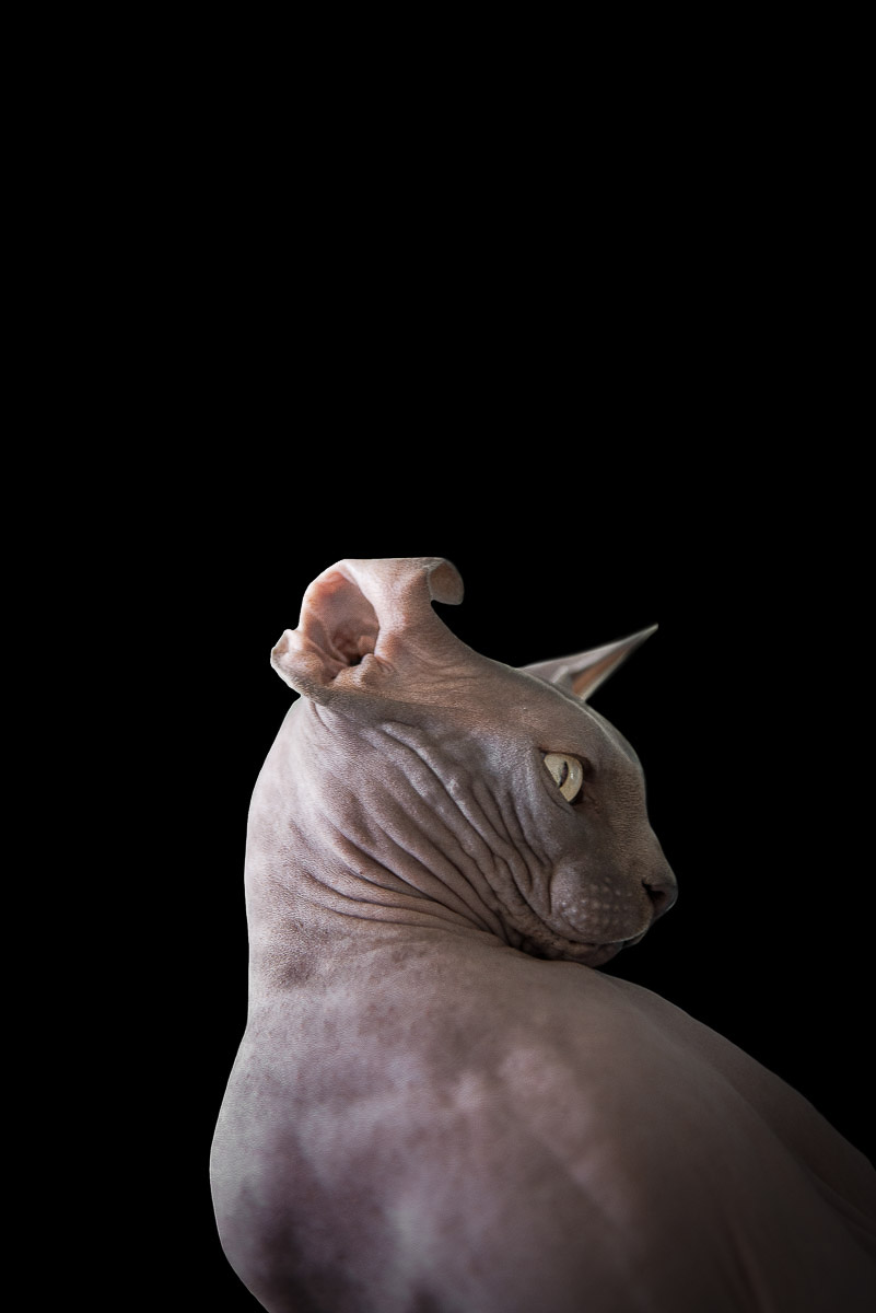 sphynx-cat-photos-by-alicia-rius-9.jpg