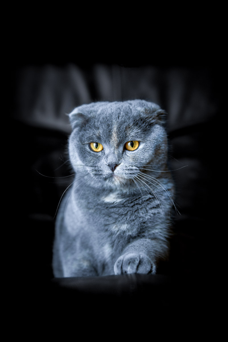 blue-scottish-fold-cat-breed-photos.jpg