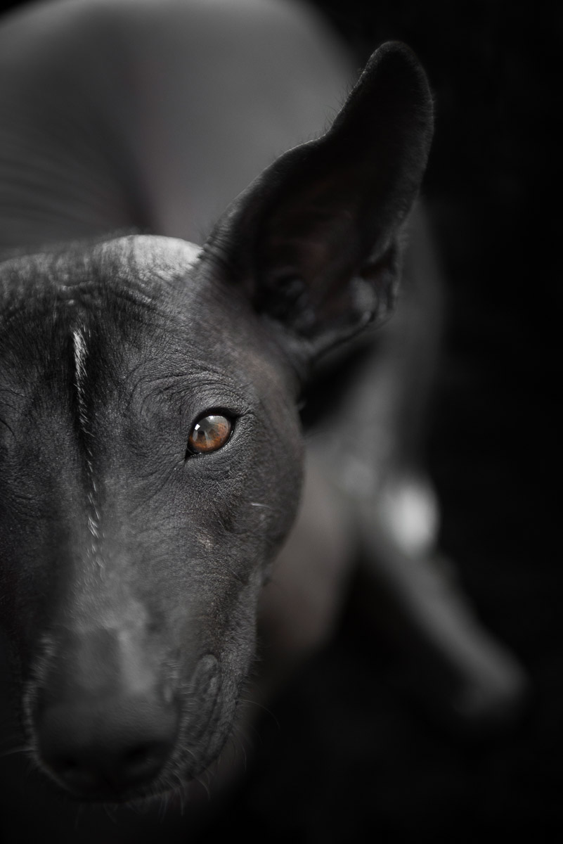 hairless-dog-xoloitzcuintli-commercial-dog-portrait-los-angeles-photographer.jpg