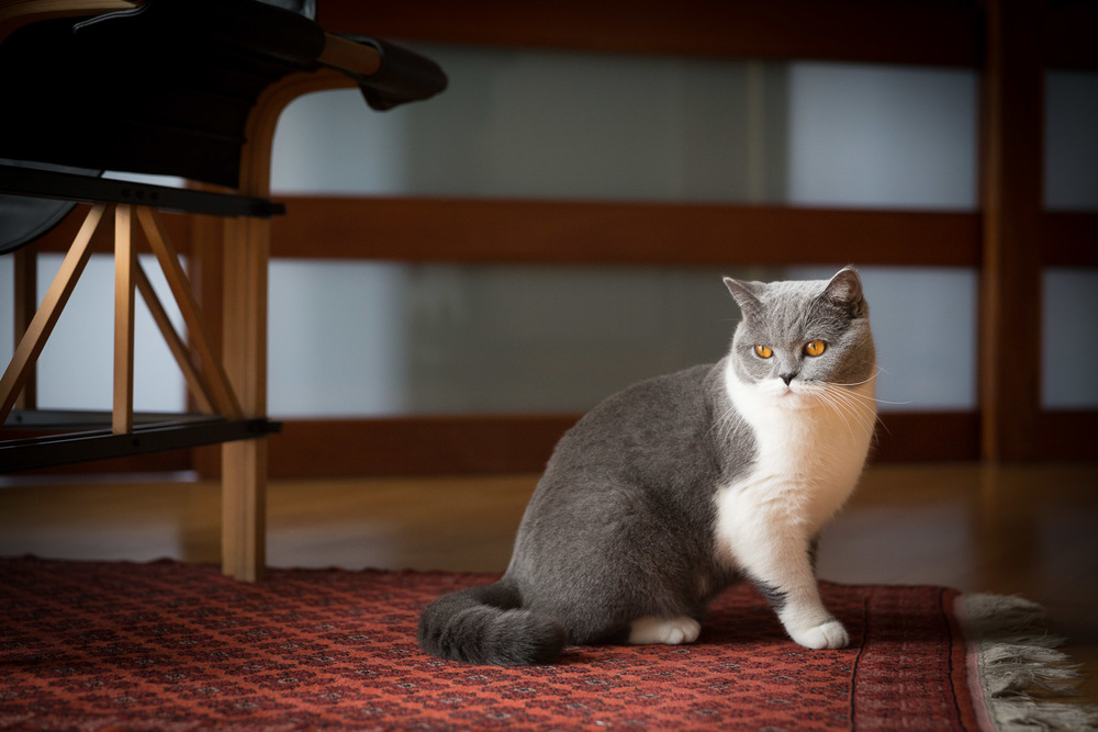 british-short-hair-cat-photos-cat-photographer-los-angeles.jpg