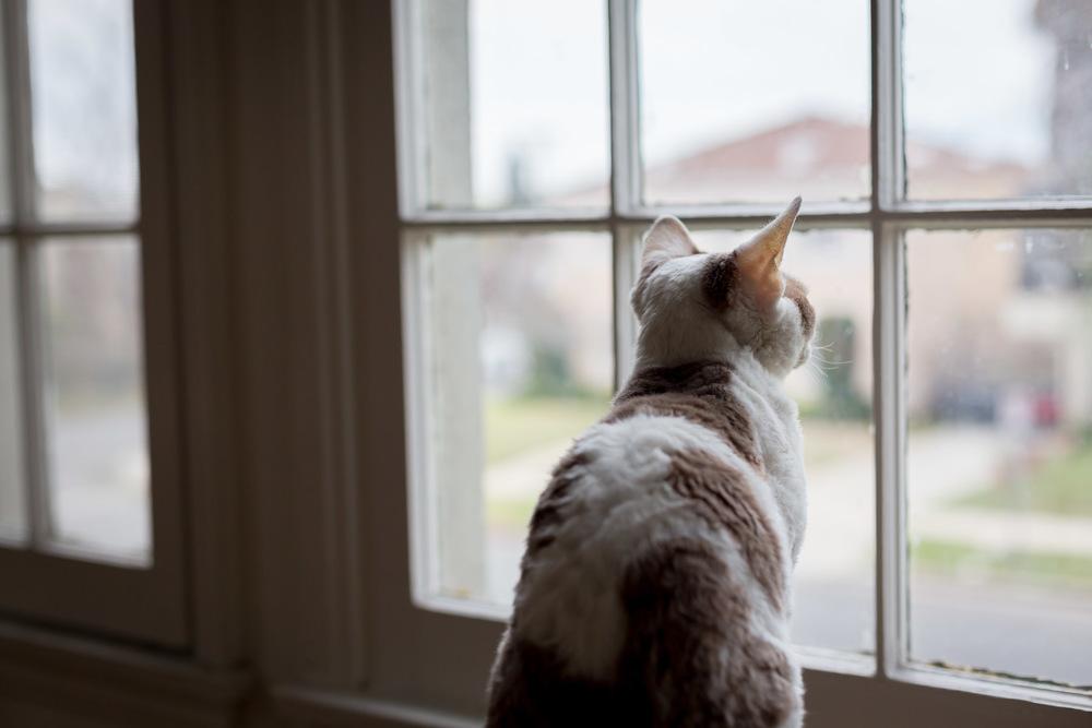 cat-devon-rex-looking-through-window-cat-photography.jpg