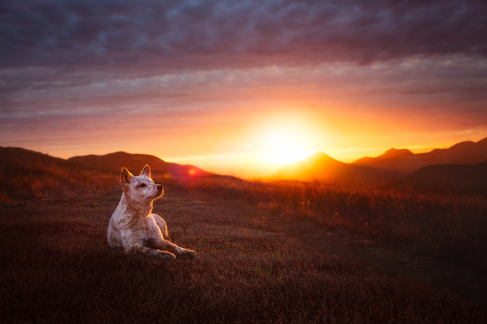 australian-cattle-dog-sunset.jpg
