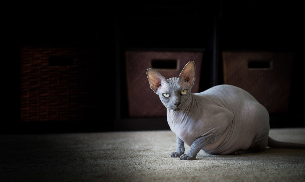 sphynx-cat-photographer-los-angeles.jpg