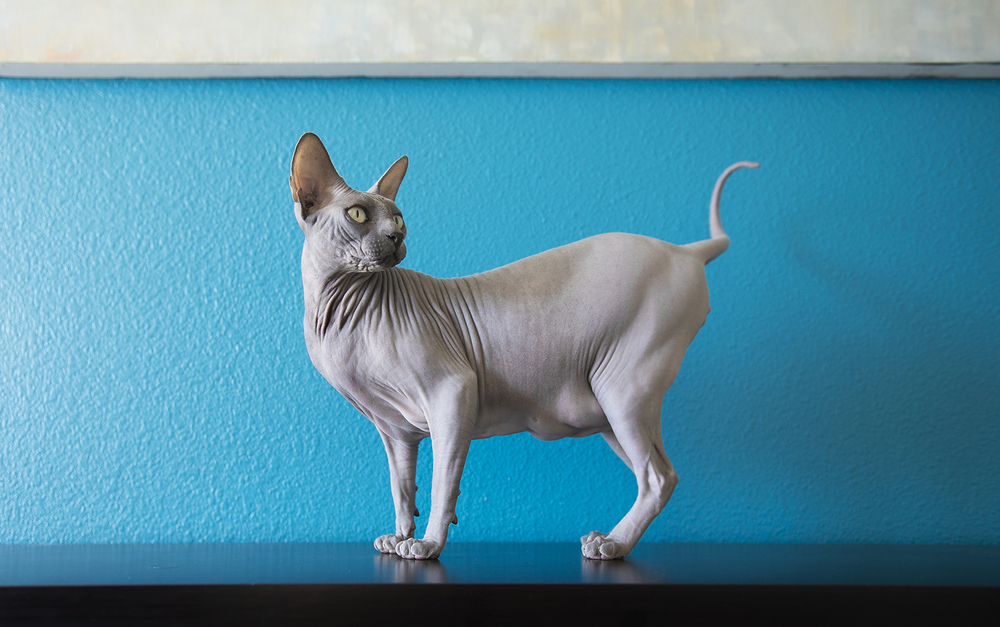 sphynx-cat-walking-on-furniture-photos.jpg