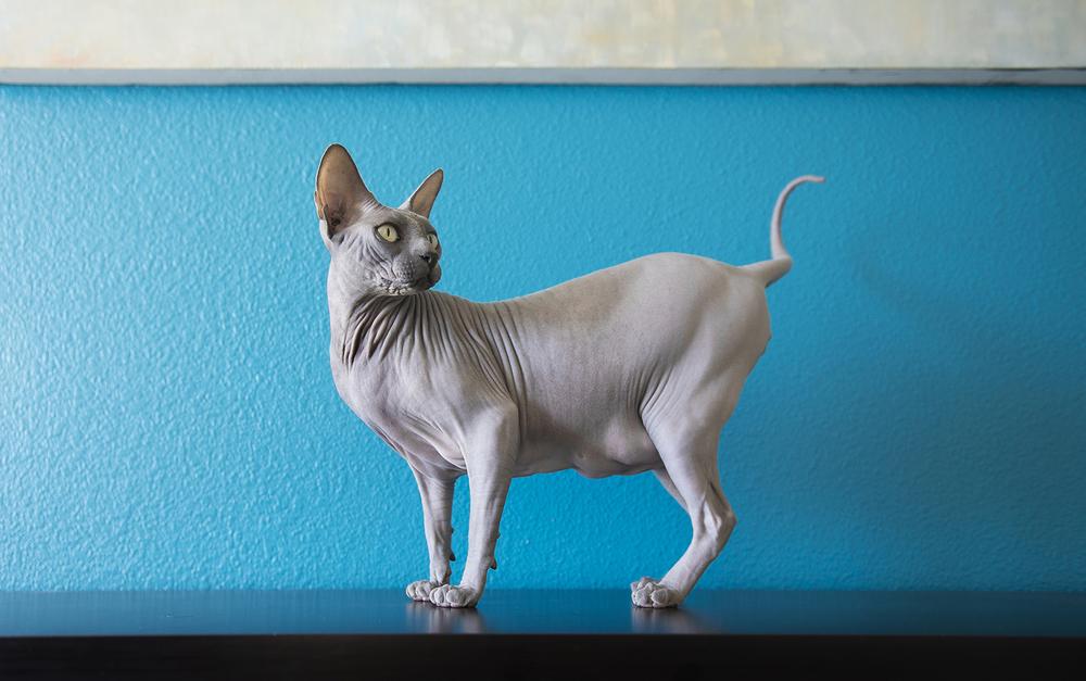 sphynx-cat-walking-on-furniture-photos.jpg