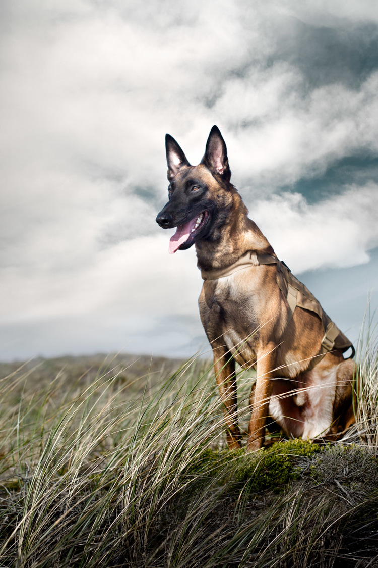 commercial-dog-photography-belgian-millanois.jpg