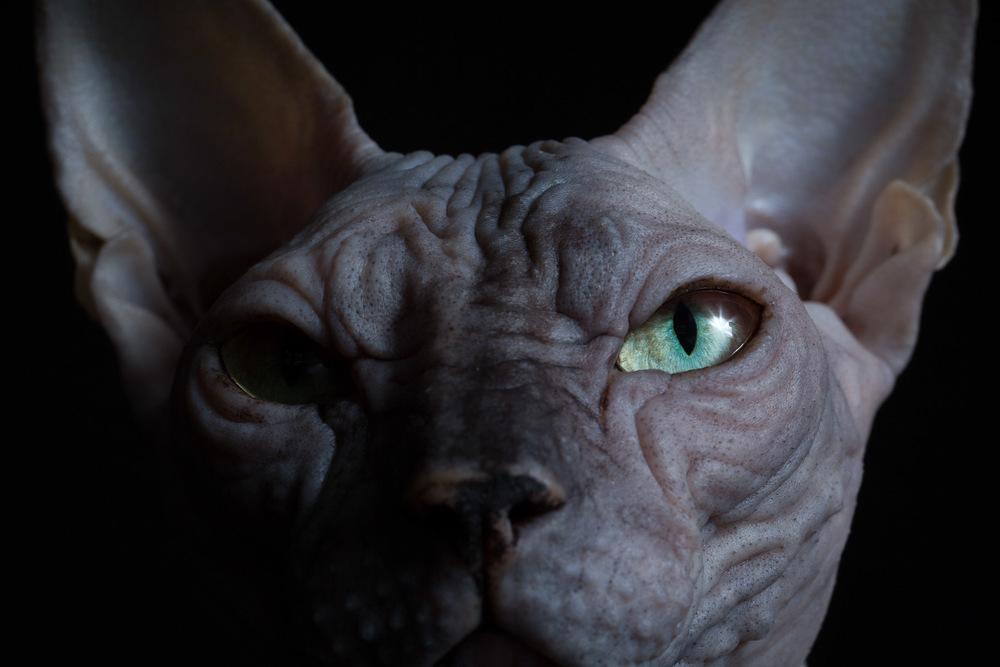 cat-photograhy-los-angeles-sphynx-cats.jpg