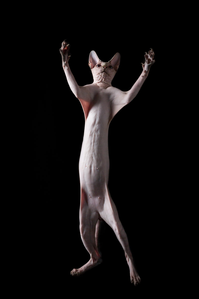 sphynx-cat-standing-arms-open-photography.jpg