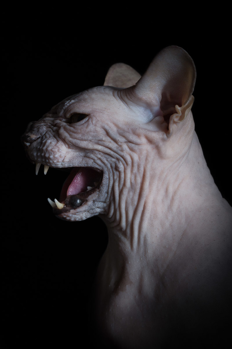 cat-hissing-photo-by-sphynx-cat-photographer-alicia-rius.jpg