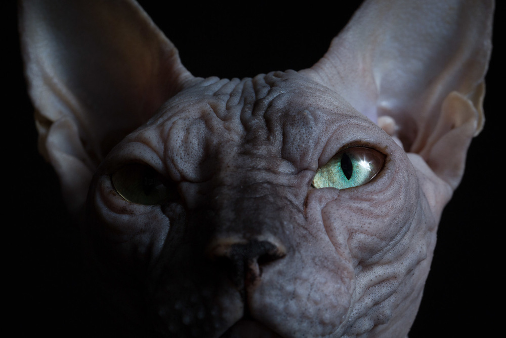 cat-photograhy-los-angeles-sphynx-cats.jpg