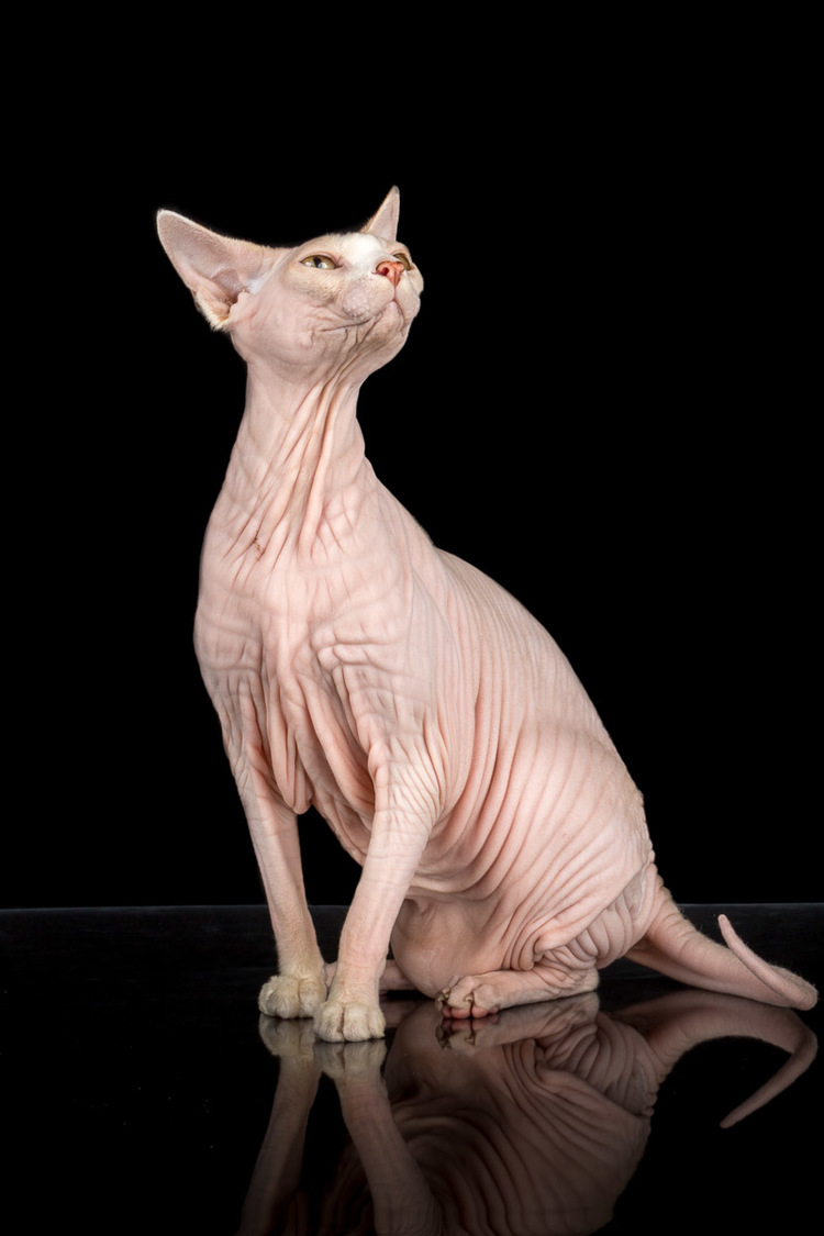pink-sphynx-cat-photos-.jpg