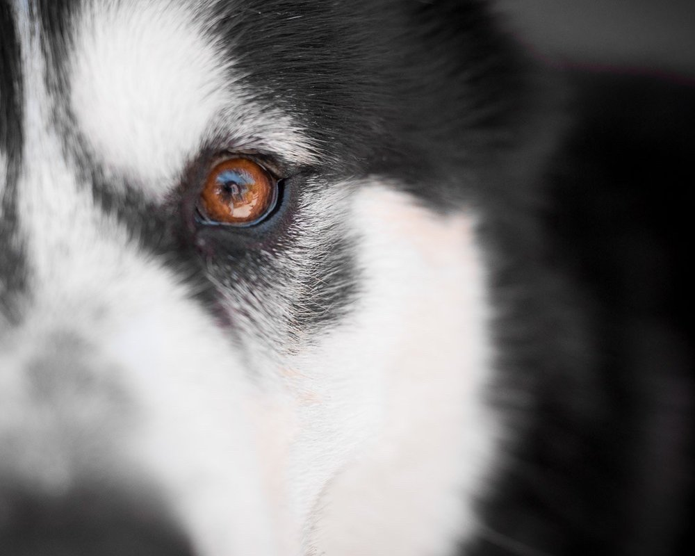 close-up-eye-viszla-breed-dog-photography