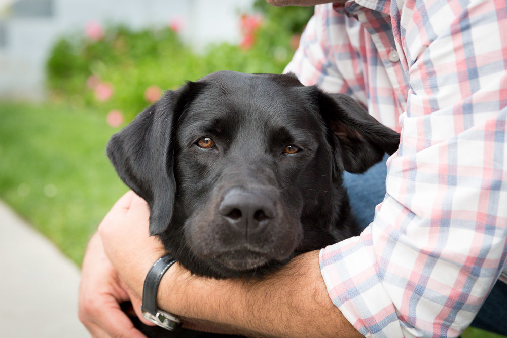 guidance-dog-labrador-pet-portrait-dog-photography
