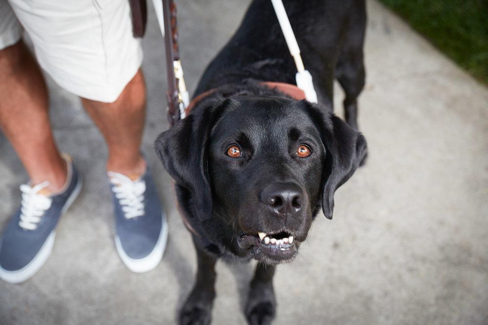 black-labrador-guidance-dog-photo.jpg