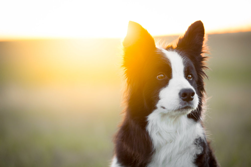 collie-dog-portrait-photographer-sunset.jpg