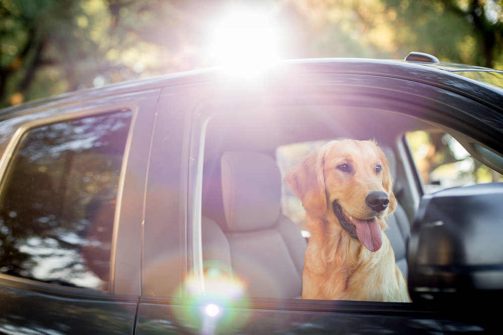 dog-golden-retriever-puppy-head-out-window-car-dog-photography.jpg