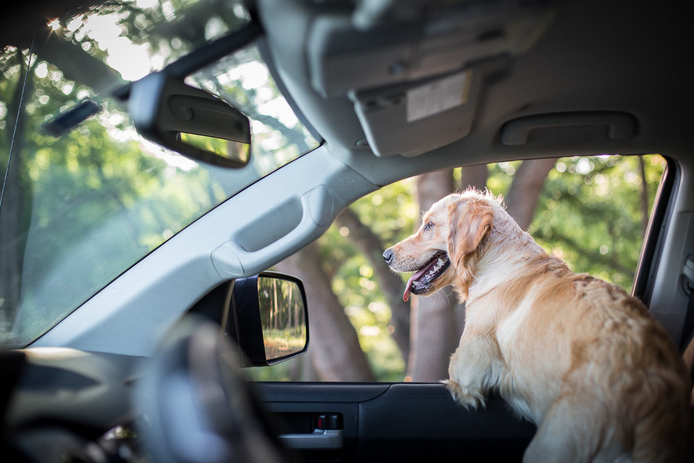 dog-golden-retriever-puppy-looking-out-car-window.jpg
