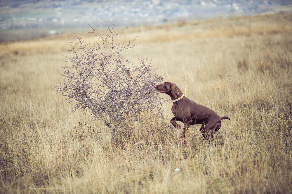 6dog-lifestyle-photographer-hunter-dogs-fetching-pheasants-nature-outdoors-bloodhounts-.jpg