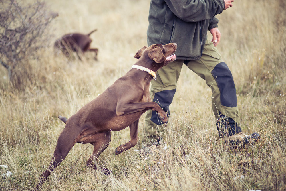 8dog-lifestyle-photographer-hunter-dogs-fetching-pheasants-nature-outdoors-bloodhounts-.jpg
