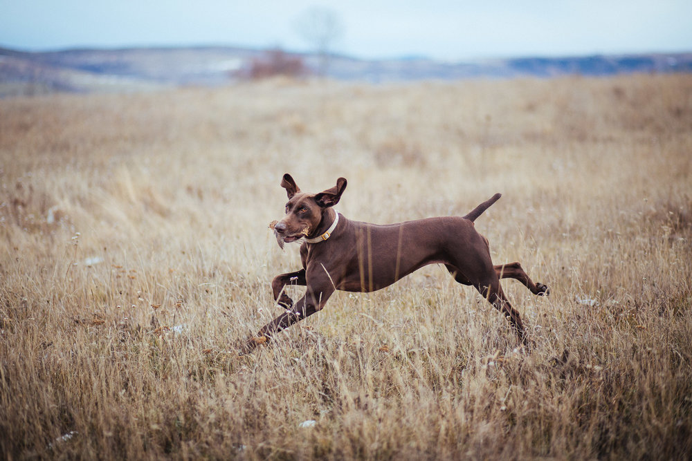 10dog-lifestyle-photographer-hunter-dogs-fetching-pheasants-nature-outdoors-bloodhounts-.jpg