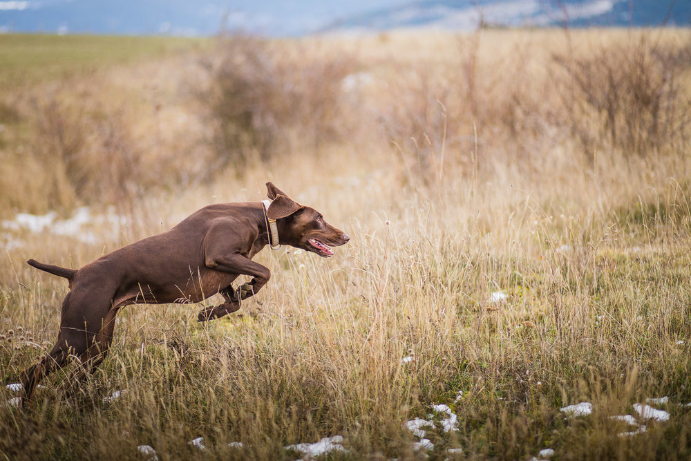 15dog-lifestyle-photographer-hunter-dogs-fetching-pheasants-nature-outdoors-bloodhounts-.jpg