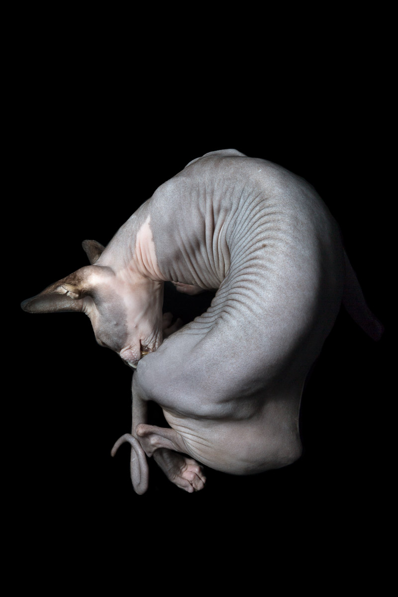 7Sphynx-cat-hairless-cat-photographer-pets-alicia-rius.jpg