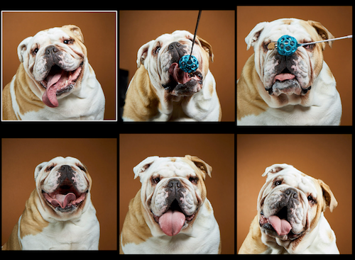 dog-portraits-happy-dog-photos-english-bulldog-smiling.png