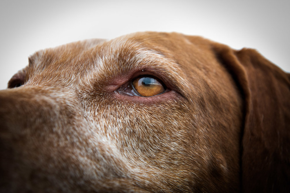 close-up-eye-viszla-breed-dog-photography.jpg