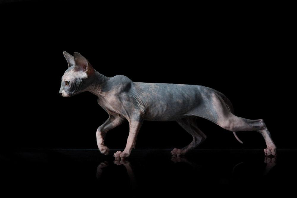 Sphynx-cat-hairless-cat-photographer-pets-alicia-rius.jpg