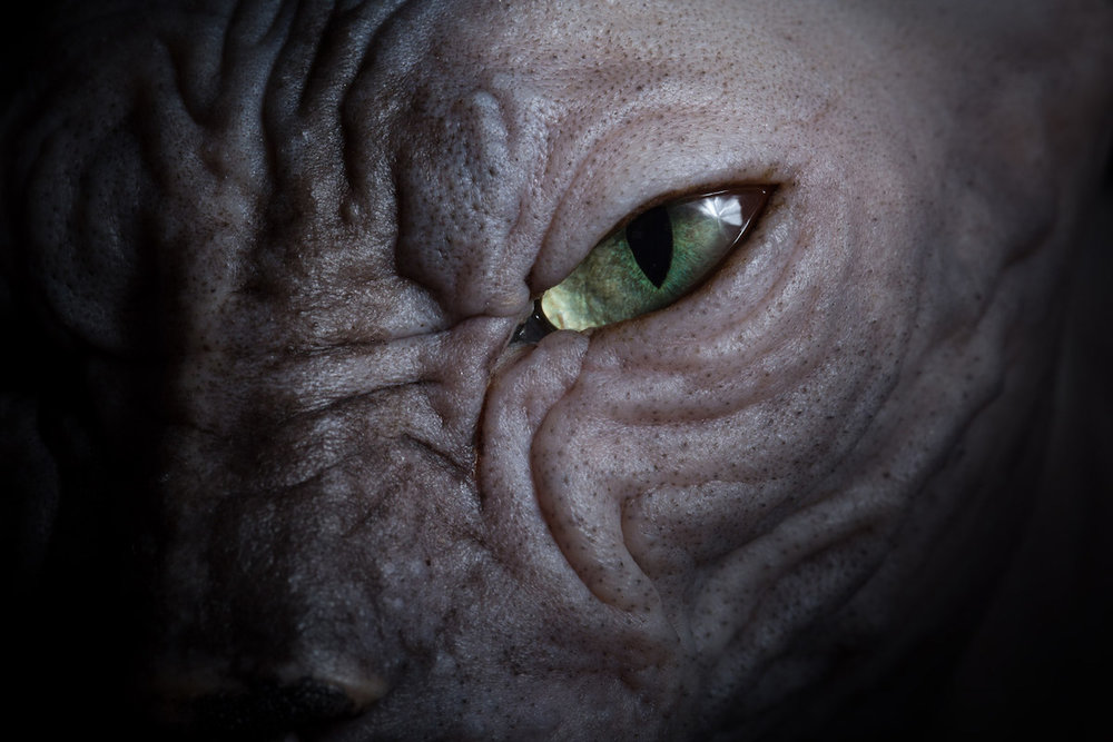sphynx-cat-alicia-rius-adobe-create-macro-eye-shot-hairless-cat