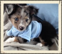 mini miniature toy aussies australian shepherd puppies breeders for sale ga texas