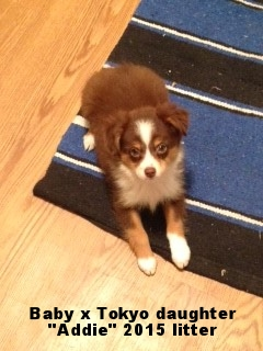 Circle C Australian Shepherds Addie2 jpg