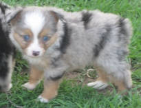 teacup australian shepherd toy aussie for sale puppies shepherds aussies puppy circle k farms mini breeders kansas texas city