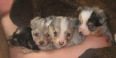teacup australian shepherd toy aussie for sale puppies shepherds aussies puppy circle k farms mini breeders kansas texas city