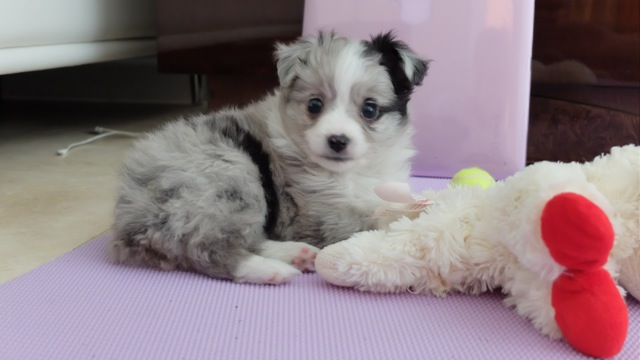Circle K Farms Teacup Tiny Toys Toys And Miniature Australian Shepherds