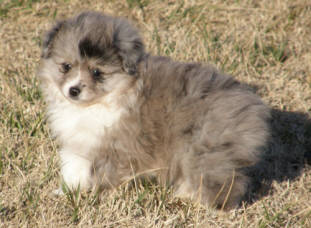 teacup australian shepherd aussie puppies for sale circle k farms toy breeders tea cup a tiny mini miniature puppy kansas near me dog in wichita ks find waltmans bulldogs petland texas city oklahoma
