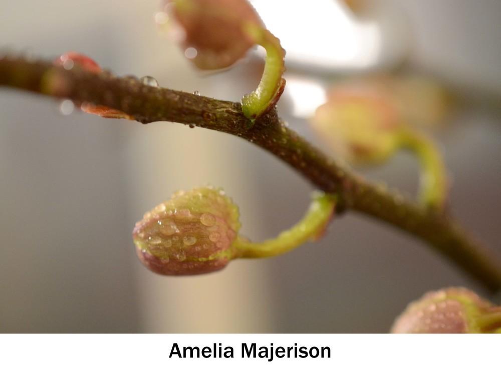 Majerison_Amelia.jpg