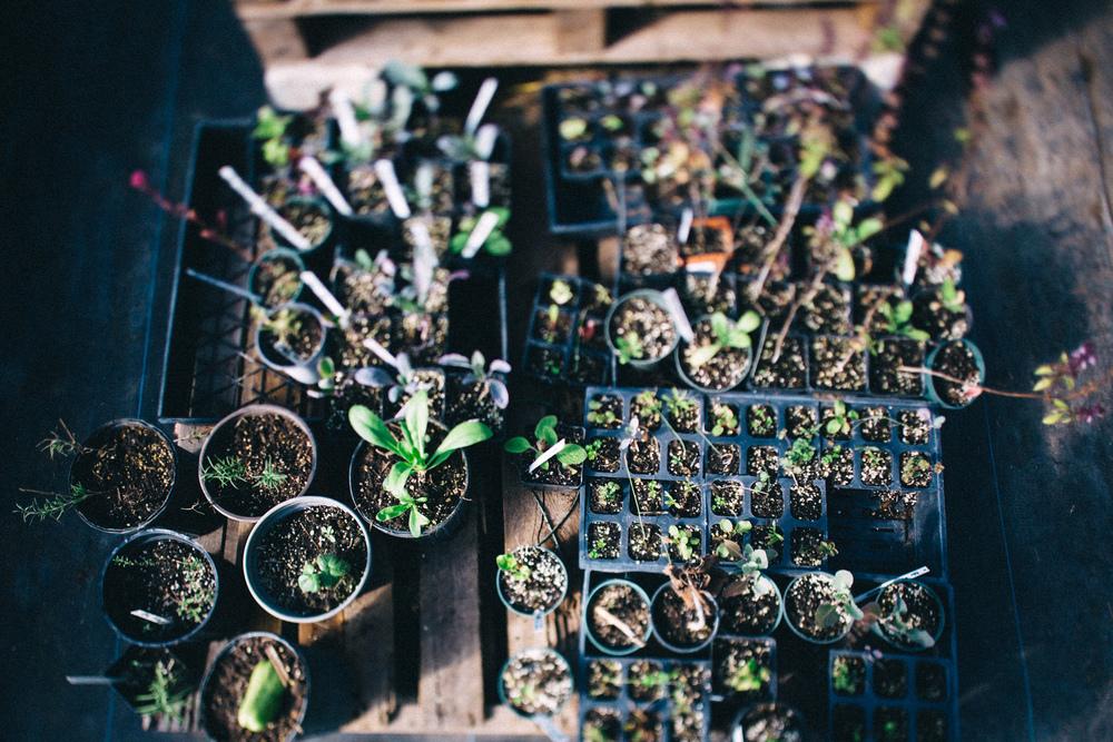 Future CSA produce waiting to be planted at Swallotail Farm.