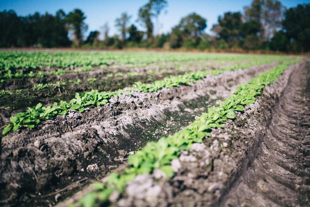 Planted rows at Frog Song Organics.