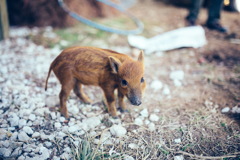 Pee-wee, the wild boar adopted by Cody and Veronica of Siembra Farms.