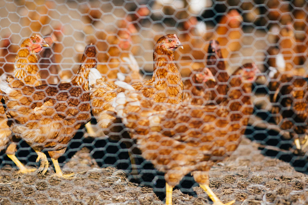 Free-range chickens grazing on soon-to-be planted ground at Swallowtail Farm.