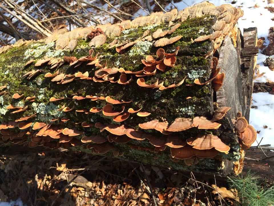 The false turkey-tail fungus