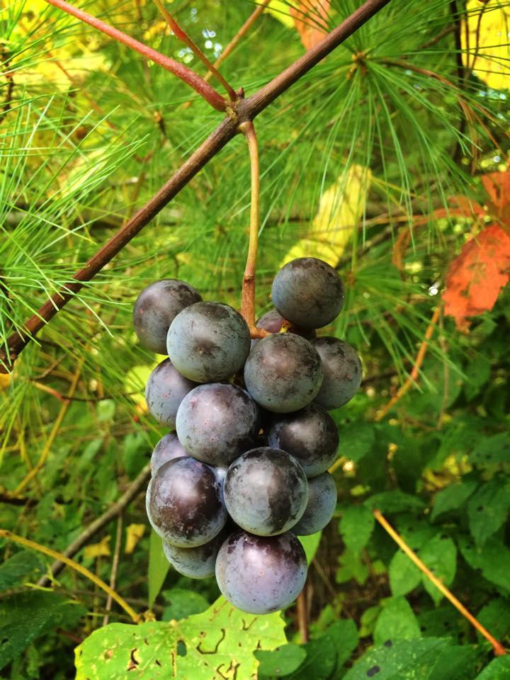 Delicious wild grapes overhang a white pine in the  Town Forest.