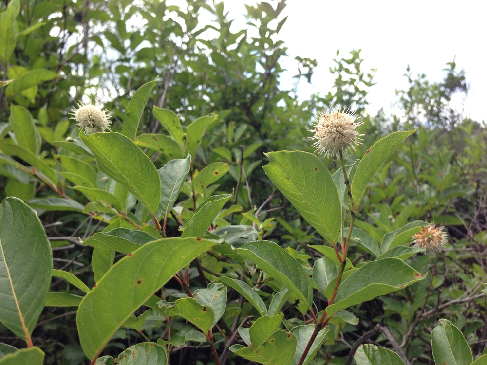 Buttonbush along the Powow